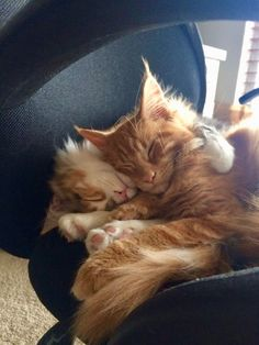 Maine coon forum norge