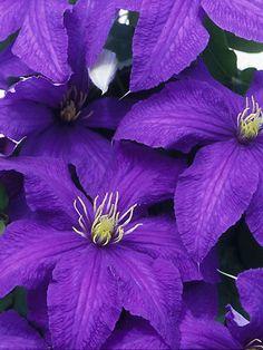 ~~Clematis Rhapsody | Bluestone Perennials~~