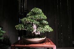 Jonas Dupuich Korean Hornbeam Bonsai Photo by Hoe Chuah
