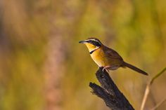 Collared Crescentchest by Bertrando Campos on 500px