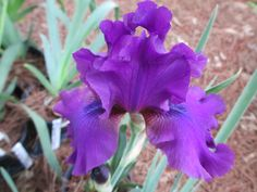 SULTRY MOOD - BEARDED IRIS. The photo was taken this year in our sales garden. We especially like the dark purple beards on this variety. #beardediris