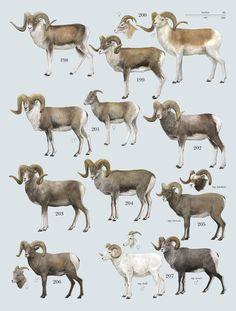 "Family Bovidae (Hollow-horned Ruminants) - genus Ovis - plate from ""The Handbook of Mammals of the World"""