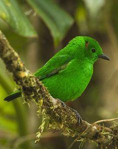 Glistening-green Tanager (Chlorochrysa phoenicotis)  by fveronesi1