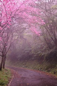 Cherry Blossom Lane, Kyoto, Japan