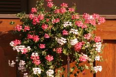 Пеларгония плющелистная, Пеларгония щитовидная, Пеларгония английская (Ivy-leaf geranium and cascading geranium)