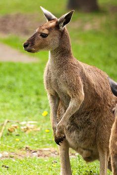 Kangaroo Animal, Wildlife, Pets, Nature, species of Animals Photography Print Poster or Kangaroo Facts, Red Kangaroo, Photos Free, Infant Activities, Sensory Activities, Animals Of The World, Animal Photography, Places To See, Paisajes