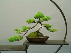 bonsai by teresafranco, via Flickr
