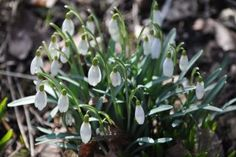 Snowdrop beautiful and highly underrated flower here to let us know that sping is comming.