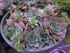 Looking for exotic color and texture for your garden? I love our Krebs Desert Rose Hens and Chicks! Clumping rosettes=one happy gardener. Well suited to containers and rock gardens. (Zones 4-9)
