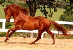 Lusitano horse , cavalo Lusitano