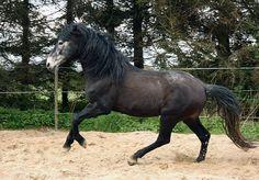 Berber stallion Gamil le Bonite