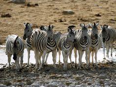 Manada de zebras
