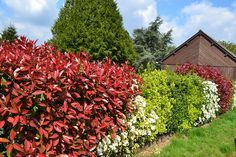 photinia red robin photinia red robin gardens and plants. Black Bedroom Furniture Sets. Home Design Ideas