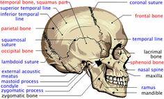 diagram of facial skeleton | ... of Human Cranium - Atlas of Human Skull Bones and Facial Bones
