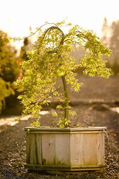 Weeping Japanese Maple - Green Broadleaf (not laceleaf!) - Acer palmatum 'Ryu sei'