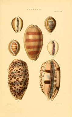 v.4 (1880) [Plates] - Thesaurus conchyliorum, or, Monographs of genera of shells - Biodiversity Heritage Library