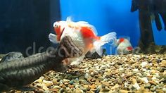 Video about Some golden fish and other types of fish swimming. Video of animal, nature, swimming - 102408644 Golden Fish, Types Of Fish, Fish Swimming, Pets, Nature, Animals, Animals And Pets, Animales, Animaux