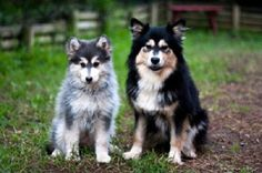 Goggie ob teh Week: Lapphunds