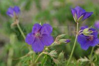 Geranium 'Spinners'  Tiefdunkelblaue, große Blüten, stark geschlitzte Blätter, ein idealer Partner zu Rosen. Sonne.