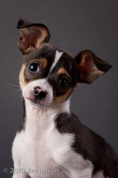 Free Rat Terrier Rat Terrier And Papillon Pup Pictures Rat Terrier Dogs Rat Terrier Puppies Fox Terrier Puppy