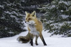 Fygles 🐾 — beautiful-wildlife: A Fox in Snow by Daniel. Fygles 🐾 — beautiful-wildlife: A Fox in Sn Wild Life, Nature Animals, Animals And Pets, Animals In Snow, Funny Animals, Fox In Snow, Wolf Hybrid, Fantastic Fox, Fox Pictures