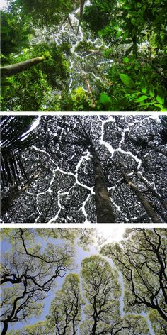 Crown shyness, a naturally occurring phenomenon, results in crack-like gaps in the tree canopy.