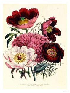 vintage botanical art print: Botanical Illustration, Beautiful Botanical, Paeonia Edulis, Botanical Prints, Botanical Art, Flower