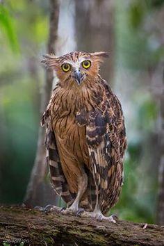 Kétoupa malais // Buffy Fish Owl -