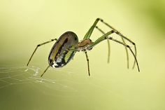 Orchard Orbweaver | Flickr - Photo Sharing!