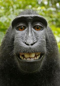 Macaque borrows photographer's camera to take hilarious self-portraits A Macaque monkey borrows a camera and takes cute self portraits! LOVE itA Macaque monkey borrows a camera and takes cute self portraits! Animals And Pets, Funny Animals, Cute Animals, Exotic Animals, Beautiful Creatures, Animals Beautiful, Beautiful Smile, Regard Animal, Orang Utan