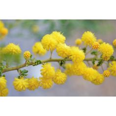 Find 130mm Acacia lasiocarpa Coast Wattle at Bunnings Warehouse. Visit your local store for the widest range of garden products.