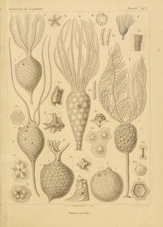 Die Amphorideen und Cystoideen : - Biodiversity Heritage Library