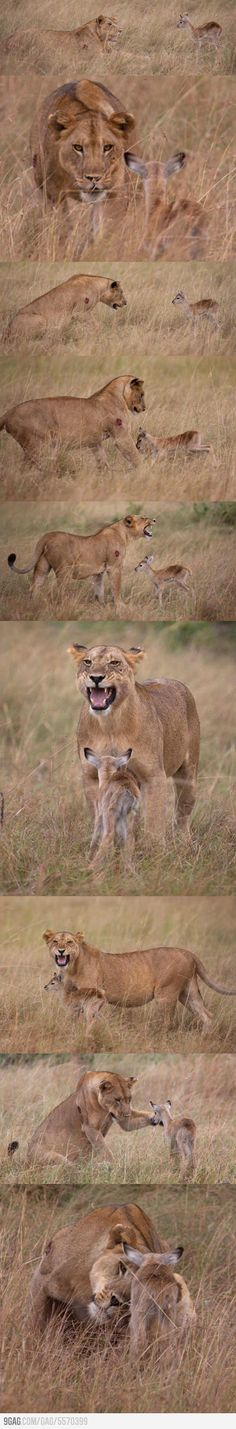 Lioness adopts the child of her eating