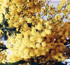 Du mimosa jaune !