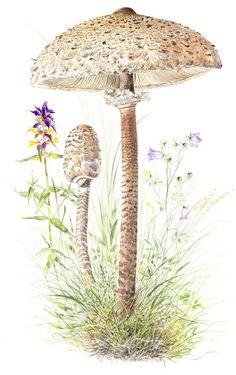 Ukonsieni Fungi, Dandelion, Flowers, Plants, Mushroom, Mushrooms, Dandelions, Florals, Planters