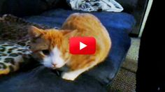 Henry Is Missing His Front Leg And Left Eye, But He Doesn't Let That Slow Him Down! Watch This Inspirational Cat Do His Thing!