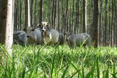 Curso de Integração Lavoura-Pecuária-Floresta (Sistema Barreirão)