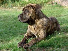 American Bandogge Mastiffs - 26 - by Daz Unique Dog Breeds, Rare Dog Breeds, Popular Dog Breeds, American Bandogge Mastiff, American Mastiff, Doggies, Dogs And Puppies, English Mastiffs, Lap Dogs