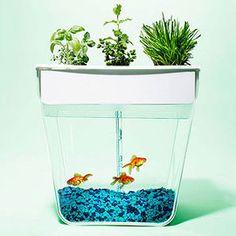 Акваферма – это самоочищающийся аквариум, который выращивает урожай. Рыбка кормит растения, а растения очищают воду в аквариуме. Всё, что тебе нужно делать – кормить свою рыбку и наслаждаться появляющимися зелёными листочками ;)