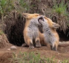 Red Fox Cubs by Akihiro Ueno - National Geographic Your Shot