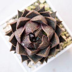 Echeveria purpusorum 大和锦 2019-09-14 #succulents #多肉植物 #echeveria #多肉 #拟石莲属 #echeveriapurpusorum