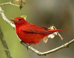My great grandmother loved this bird, don't know if it was the bird or the fact that they are scarlet red, which she loved as well.  Anytime I see one, I know she has just checked in with me and said Hi.