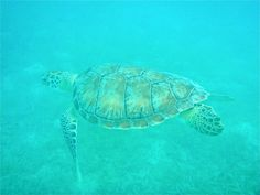 The snorkeling around Caneel Bay is fantastic! You can get up close to the Hawksbill Sea Turtles, visit caneelbay.com to learn more about Caneel Bay Resort