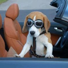 One cool Beagle.