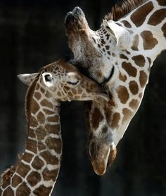 Giraffe mum and baby [I'm a sucker for a mom & baby animal photo. And I'm very fond of giraffes, too. - k : ) ]