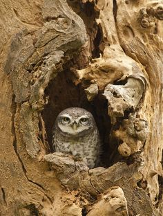Spotted Owlet Source: Flickr / third_eye