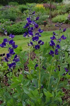 Baptisia australis minor 'Dark Blue' 50cm juni-juli hessenhoef