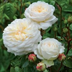 Tranquillity:tm::registered: New David Austin Rose!!! An attractive, very floriferous variety, bearing pure white, beautifully rounded, rosette blooms. Almost thornless with very healthy, vigorous growth. Light apple fragrance.