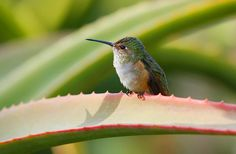 Another Day Tomorrow - Hummingbird_MG_1371-1 | Nob's Photography | Flickr