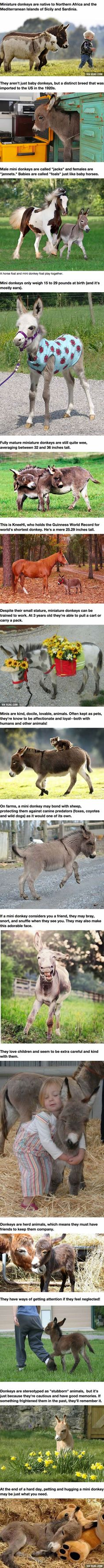 Mini Donkeys Are Just The Dream Pet Of Us All!